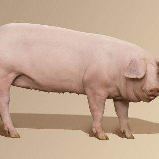 Свине угояване 60 - 110 кг.